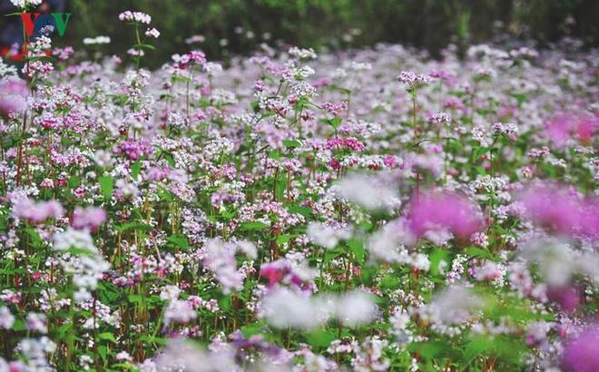 Hoa tam giác mạch là biểu tượng của rừng núi Hà Giang