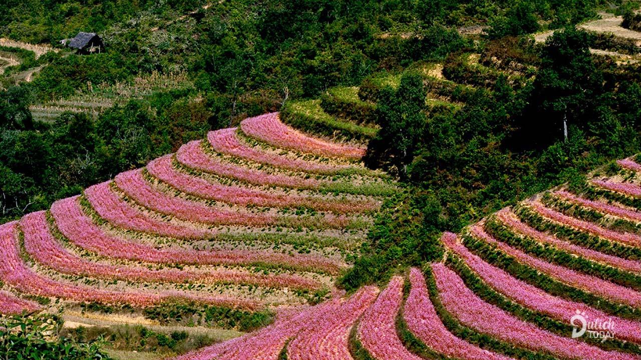 Hoa tam giác mạch nở đầy những con đường khắp xã Lũng Cú