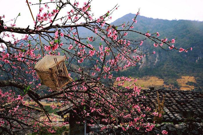 Lễ hội hoa anh đào Mèo Vạc Hà Giang