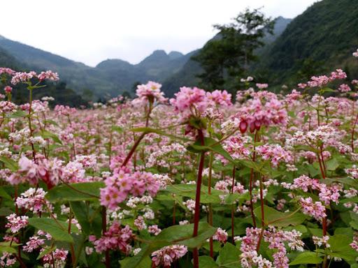 Thảm hoa tam giác mạnh tuyệt đẹp ở xã Phố Cáo